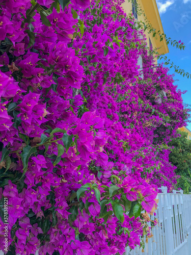 Fényképezés Bougainvillaea flowers and green leaves close-up across blue sky and yellow house