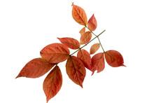 Close-up Of Autumn Leaf On White Background