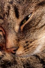 Domestic Tabby Cat Face Close-...