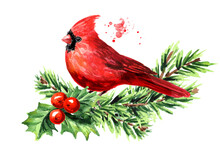 Red Bird Cardinal On The Fir  Branch And Holly Berries Symbol Of Christmas, Watercolor Hand Drawn Illustration Isolated On White Background