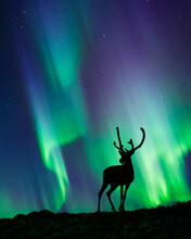Reindeer Standing In The Hill, Night Sky With Stars And Aurora Borealis In The Background.