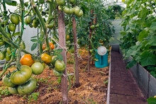 Tomato Plants And Watering Can In A Greenhouse