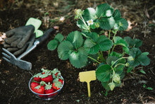 Strawberries In Bowl By Plants On Land In Garden
