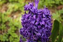 A Purple Hyacinth