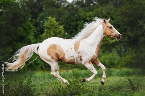 Foto American Quarter horse cantering through his field with flowing manes and tail