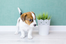 Puppy Jack Russell Stands And ...