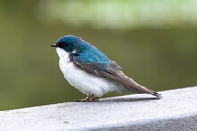 A Beautiful Blue Tree Swallow (Tachycineta Bicolor) Perches On A Railing At John Heinz National Wildlife Refuge, Philadelphia, Pennsylvania, USA