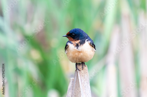 A Cute Barn Swallow (Hirundo rustica) Perches on a Cattail in the Marsh at John фототапет