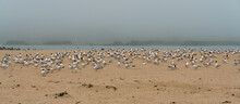 Great Colony Of Sea Birds On The Beach In Foggy Day. Flock Of Least Tern Birds, California