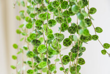 """Close-up On The Dainty Patterned Leaves Of """"string Of Turtles"""" (peperomia Prostrata) Trailing Houseplant On White Background. Beautiful Houseplant Detail Against White Backdrop."""