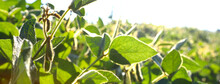 Soybean Fields. Ripe Yellow Soybean Pods At Sunrise. Blurred Background. The Concept Of A Good Harvest. Macro