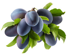 Tree Branch With Purple Plums ...