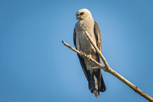 Mississippi Kite (Ictinia Mississippiensis) Perched In A Tree