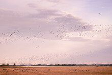 Flock Of Birds Flying Over A Dry Field During Migration