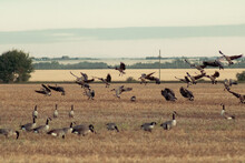 Flock Of Canada Geese Landing On Dry Field  During Migration