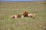 Fototapeta Sawanna - Para lwów odpoczywa na sawannie. Rezerwat Masai Mara (kenia)