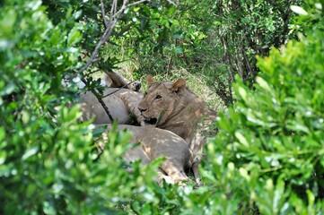 Stado lwów podczas sjesty. Ramy z roślinności. Rezerwat Masai Mara (Kenia)