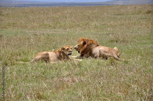 Para lwów odpoczywa na sawannie. Rezerwat Masai Mara (kenia)