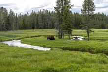 Bison Next To The Gibbon River, Yellowstone National Park
