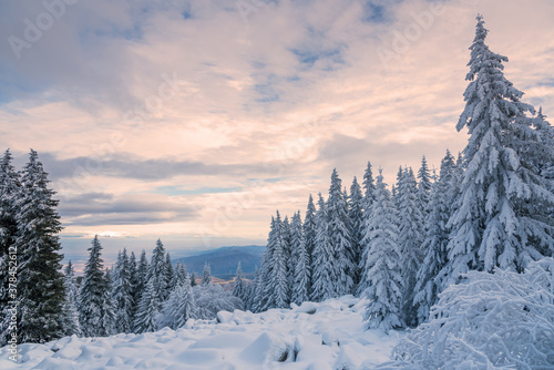 Fototapeta Forest pine trees in winter covered with snow in evening sunligh obraz