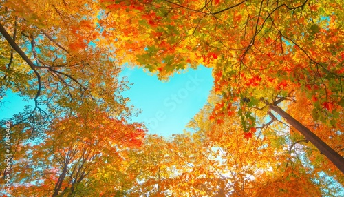 Fototapeta Autumn forest background. Vibrant color tree, red orange foliage in fall park. Nature change Yellow leaves in october season Sun up in blue heart shape sky Sunny day weather, bright light banner frame obraz