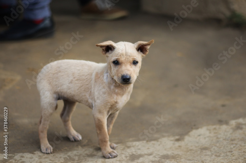 Fototapeta an innocent puppy looking at the camera. indian street dog