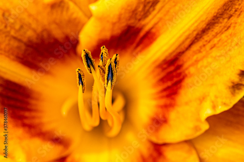 Fotografie, Obraz Orange and Red Day Lily Flower from the Garden