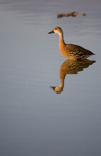Whistling Duck, Little Cayman Island