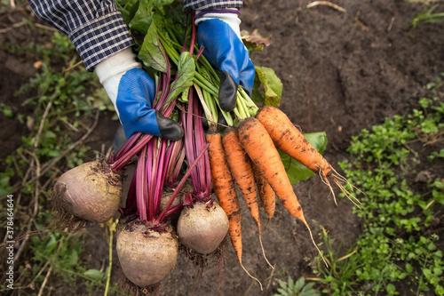 Harvesting organic vegetables Billede på lærred