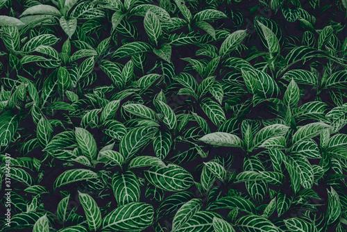 Fototapeta tropical leaves, green leaves texture, nature background obraz