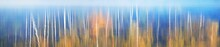 Colorful Golden Birch Trees. S...