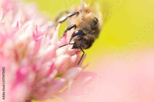 Fototapeta Honey bees collect pollen Spiraea flower. Macro shot. obraz