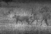 A Pair Of Leopards Walking In ...