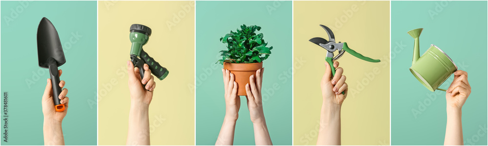 Fototapeta Female hands with gardening tools and houseplant on color background