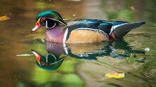 Wood Duck In The Pond