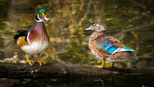 Wood Duck On The Pond