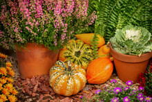 Pile Of Harvested Small Orange Pumpkins Lie On Rough Burlap Among Potted Flowers And Heathers