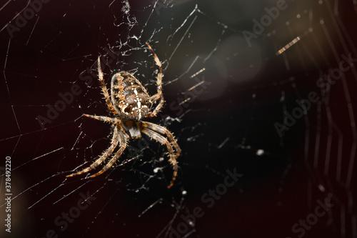 Araneus Diadematus, pająk krzyżak. Wallpaper Mural