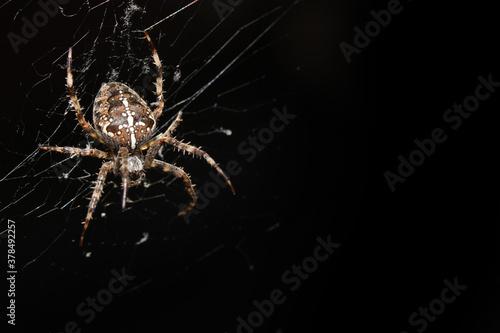 Fotografía Araneus Diadematus, pająk krzyżak.