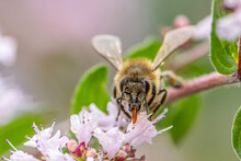 Close Up Of A Honey Bee Extracting Nectar Form The Blooms On A Oregano Plant In Organic Garden
