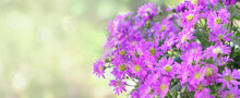 Panoramic View On Beautiful Pink Aster Flowers Blooming On Blur Background