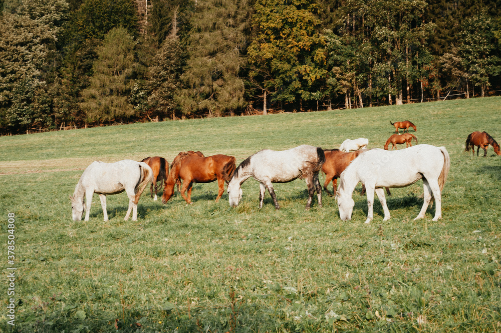 Fototapeta white and brown horses grazing on meadow