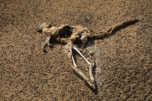 Dead Kangaroo Carcass On Arid Ground, Heathcote, Australia