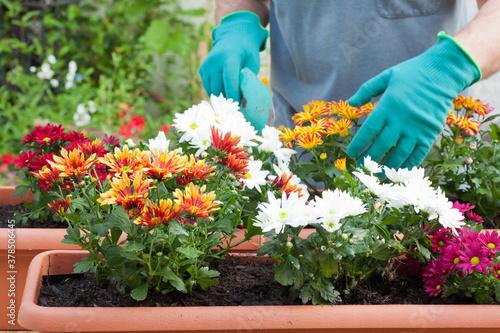 Fototapeta Hands of gardener potting flowers in greenhouse or garden obraz