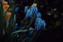 Blue Grape Hyacinth