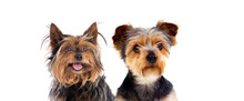 Two Cute Small Dogs With Long ...