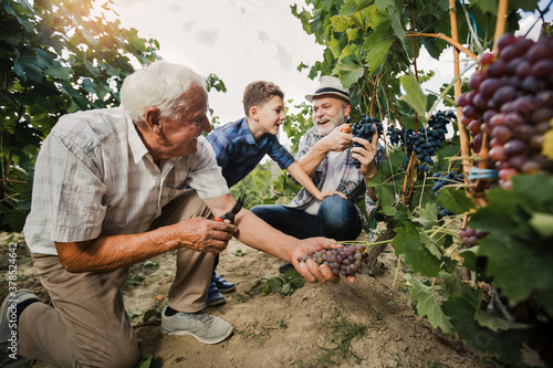 Foto Happy senior is picking grapes with his son and grandson