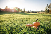 A Field Of Green Grass And Three Bright Orange Pumpkins Of The New Fall Harvest In The Sun. Beautiful Landscape