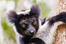 Head Of Black And White Lemur ...