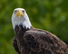 A Captive Bald Eagle Makes Eye Contact - Quebec, Canada